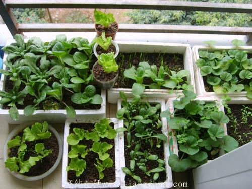 家庭农场阳台栽种小百科